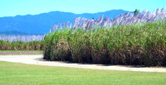 Canefield